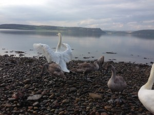 Moray Firth Swans